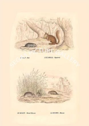 LE RAT - Rat, L'ECUREUIL - Squirrel, LE MULOT - Wood Mouse, LA SOURIS - Mouse